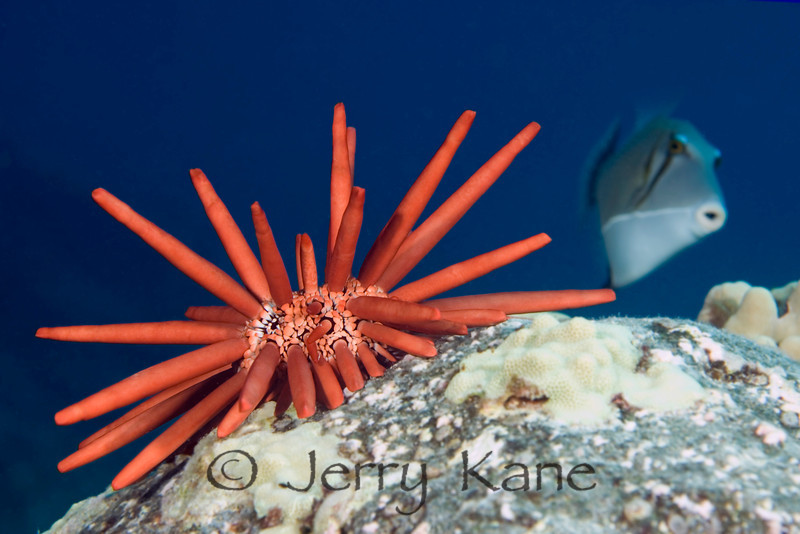 Red Pencil Urchin (Heterocentrotus mammillatus) and Triggerfish - Honokohau, Big Island, Hawaii