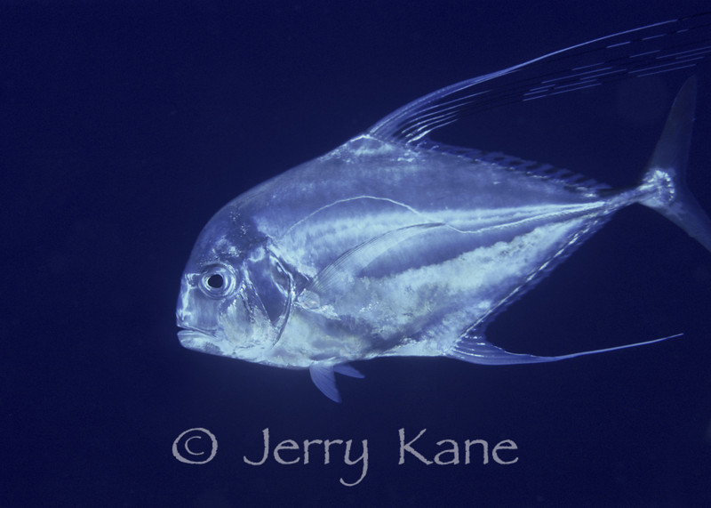 Threadfin Jack (Alectis cilaris) - Keahole Point, Big Island, Hawaii