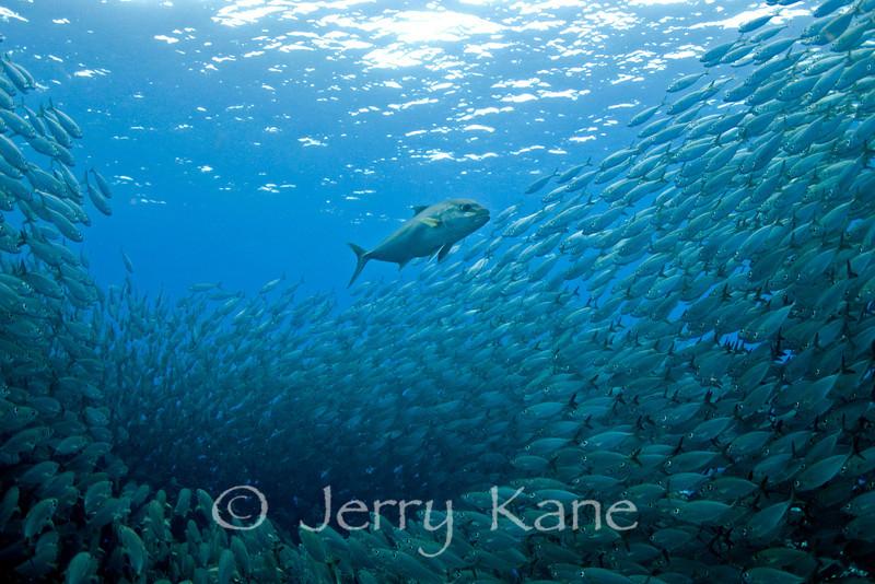 Amberjack (Seriola dumerili) and Big Eye Scad (Selar crumenophthalmus) - Kona, Big Island, Hawaii