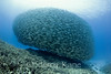 School of Akule (Selar crumenophthalmus), baitball is ~40 ft wide with thousands of fish - Big Island, Hawaii