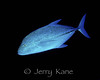 Bluefin Trevally (Caranx melampygus) - Big Island, Hawaii