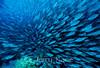 Akule (Selar crumenophthalmus) - Big Island, Hawaii