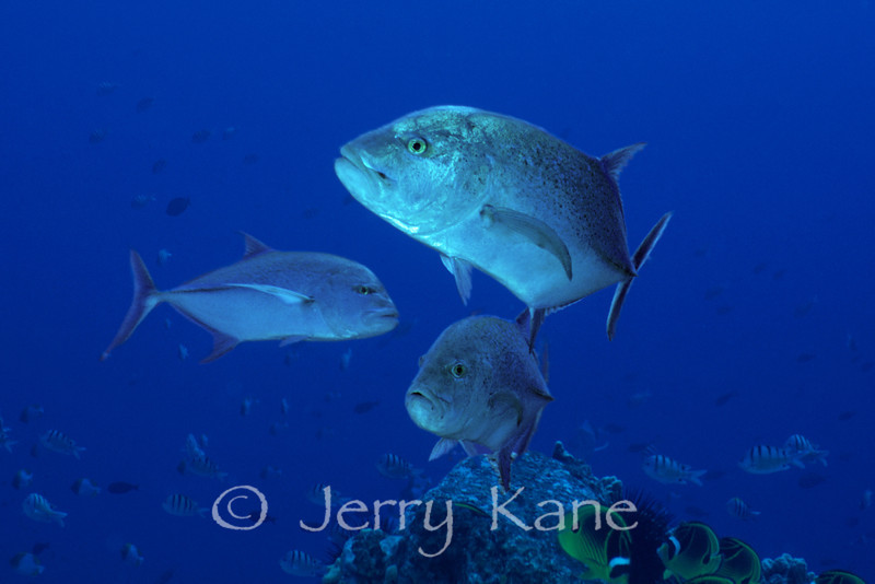 Bluefin Trevally (Caranx melampygus) - Kaiwi Point, Big Island, Hawaii