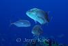 Bluefin Trevally (Caranx melampygus) - Kaiwi Point, Big Island, Hawaii
