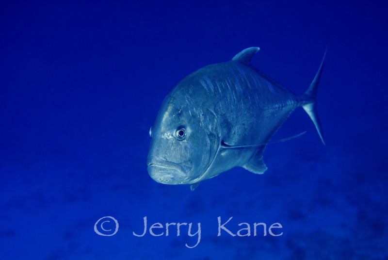 Giant Trevally (caranx ignobilis), Kaiwi Point, Big Island, Hawaii