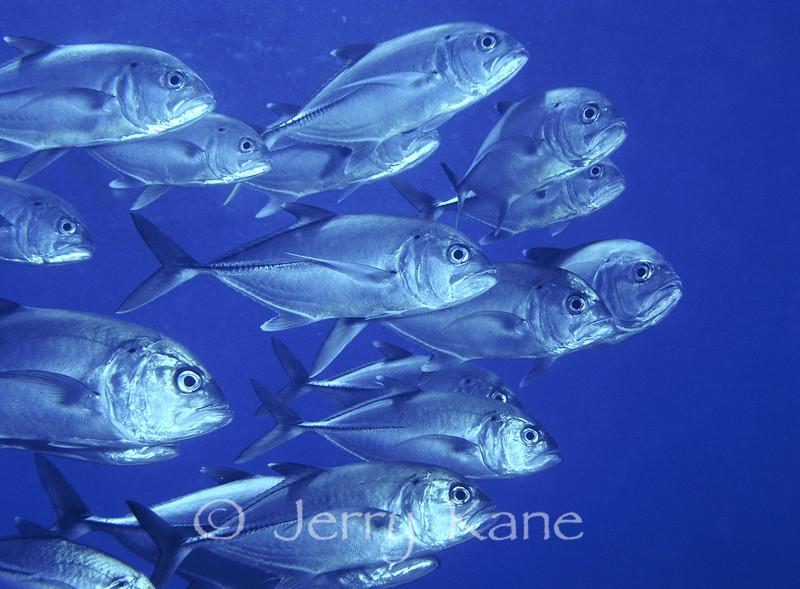 Big Eye Jacks (Caranx sexfasciatus) - Hanauma Bay, Oahu, Hawaii
