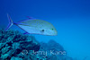 Bluefin Trevally (Caranx melampygus) - Honokohau, Big Island, Hawaii