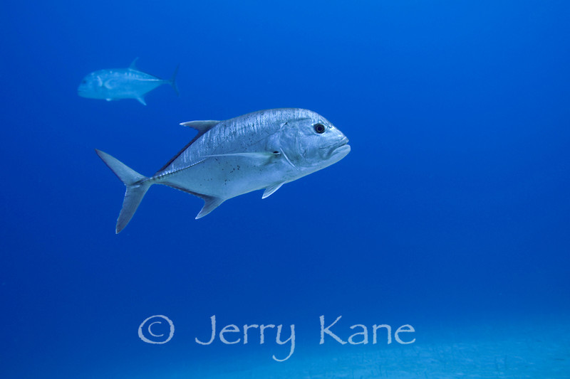 Giant Trevally (Caranx ignobilis) - Honokohau, Big Island, Hawaii