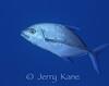 Island Jack (Carangoides orthogrammus) - Honokohau, Big Island, Hawaii