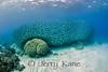 School of Big Eye Scad (Selar crumenophthalmus) - Kona, Big Island, Hawaii