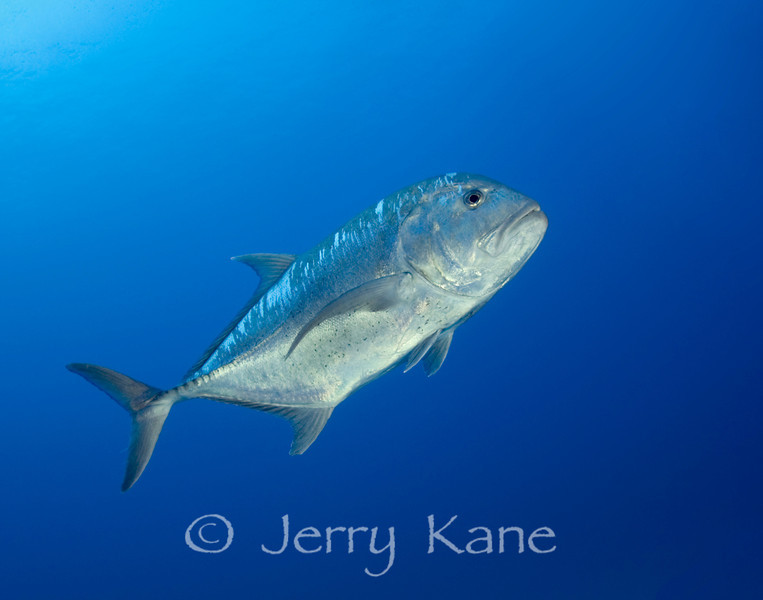 Giant Trevally (Caranx ignobilis), Honokohau, Big Island, Hawaii