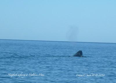 Humpback Whale Surfacing a Molikini Reef in Maui