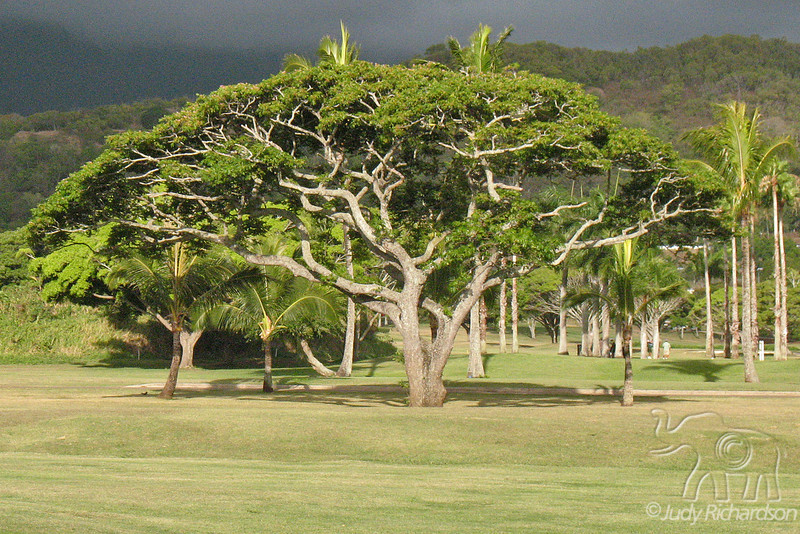 Tree formations at Olomana golf course