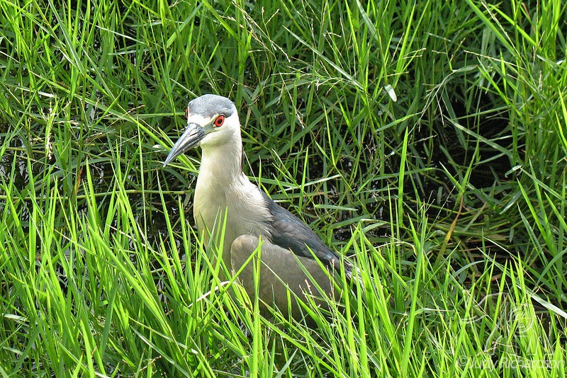 Black-crowned Night Heron at Olomana Golf Course
