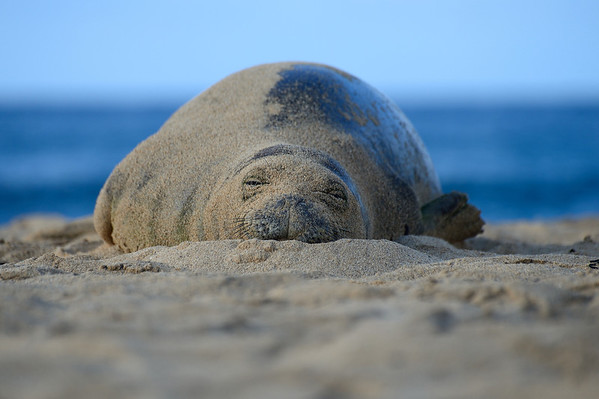 Monk Seal - 4 year old female