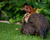 A New Generation of Kauai Chickens