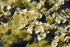Padina Algae