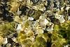 Pedina Algae Abstract