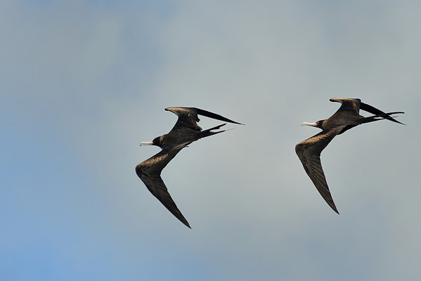 Great Frigatebirds in Formation