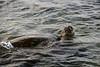 Green Sea Turtle on a Morning Swim