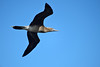 Immature Red-Footed Booby