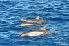Three Spinner Dolphins