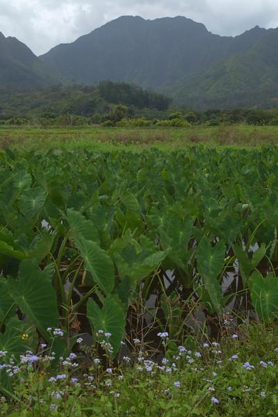 Taro Field, Kauai, Hawaii