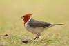 Red-crested Cardinal, Kauai, Hawaii