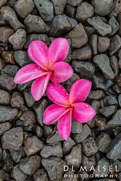 Plumeria Allerton Garden