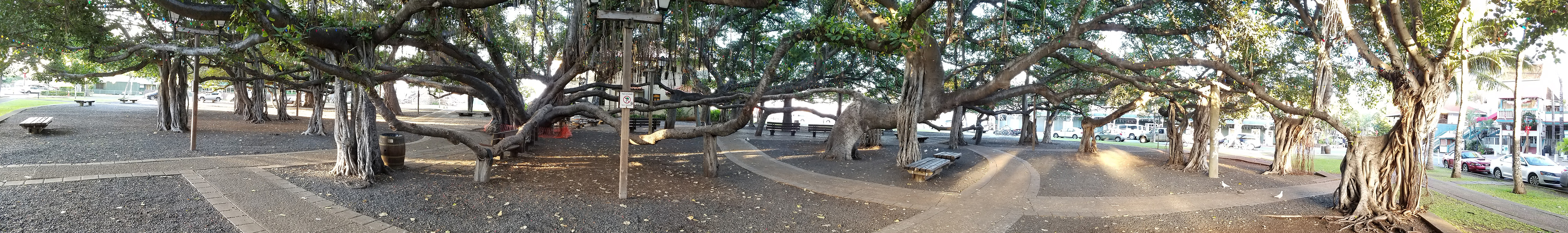Banyan tree planted in 1873 to commemorate the 50th anniversary of the first Protestant mission in Lahaina.