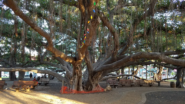Banyan tree planted in 1873.