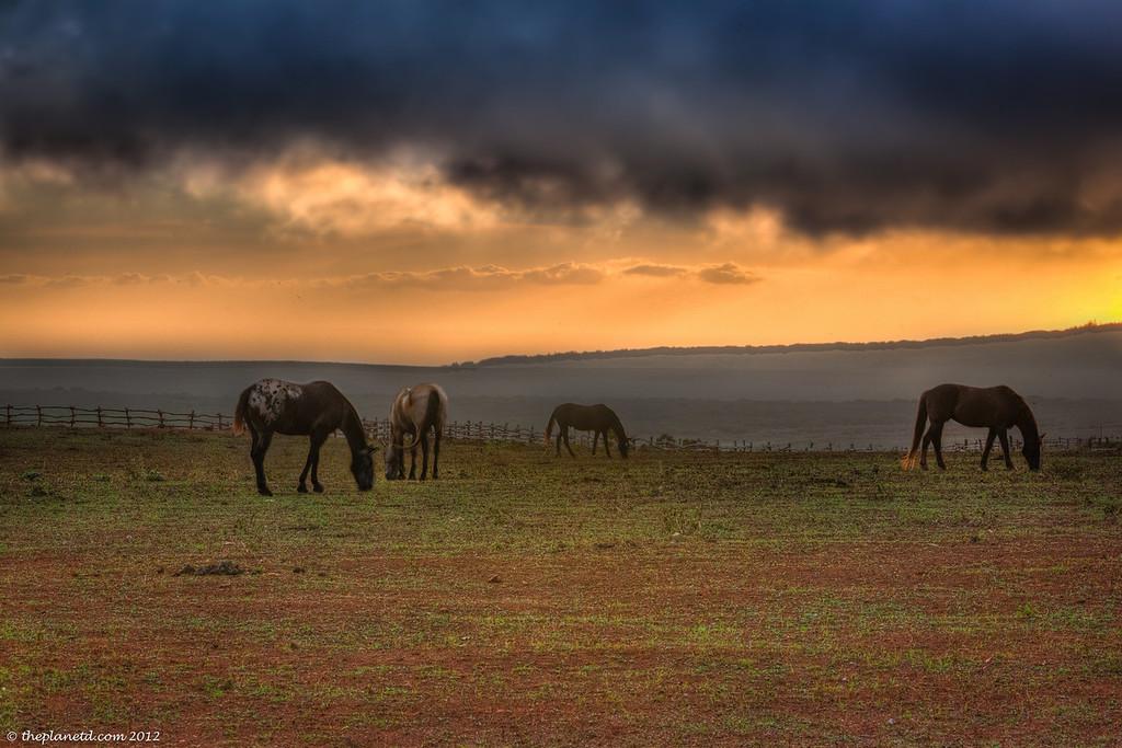 Horses graze at sunset at Four Seasons Koele Lodge, Lanai Hawaii