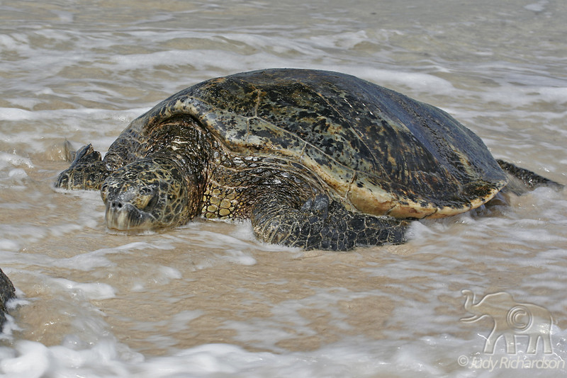 Hawaiian Green Sea Turtle in the surf at Laniakea Beach