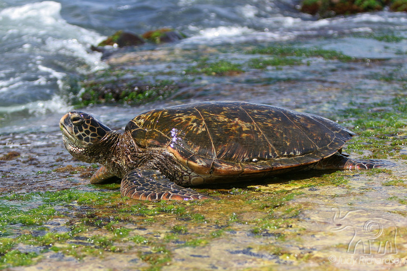 Laniakea Beach ~ Curious Turtle