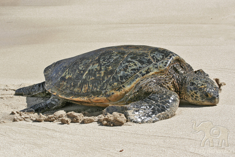 Hawaiian Green Sea Turtle coming onto the sand at Laniakea Beach~North Shore O'ahu