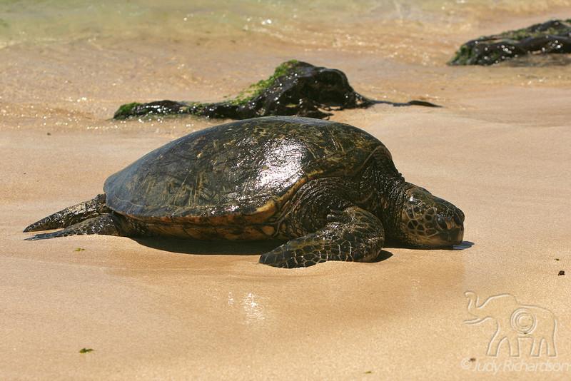 Turtle on Sand~6-13-08