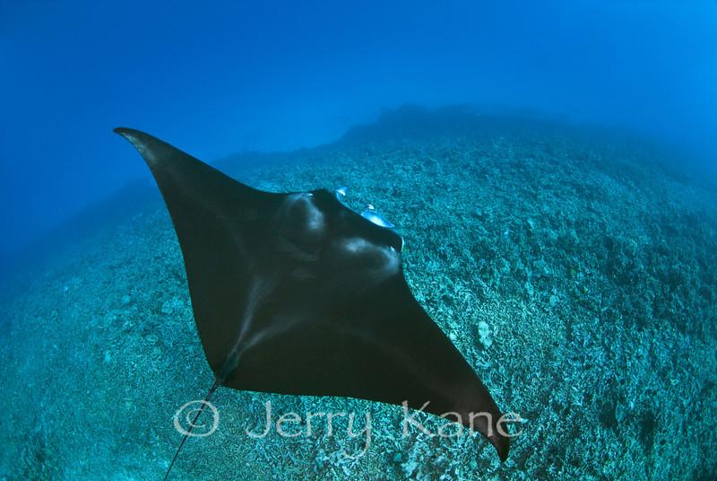 Manta Ray (Manta birostris) - Keauhou, Big Island, Hawaii