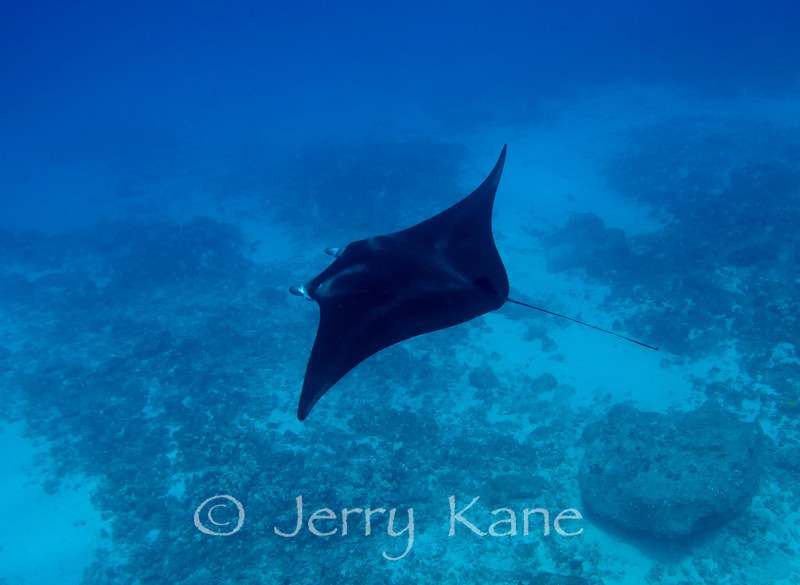 Manta Ray (Manta alfredi) - Honokohau, Big Island, Hawaii