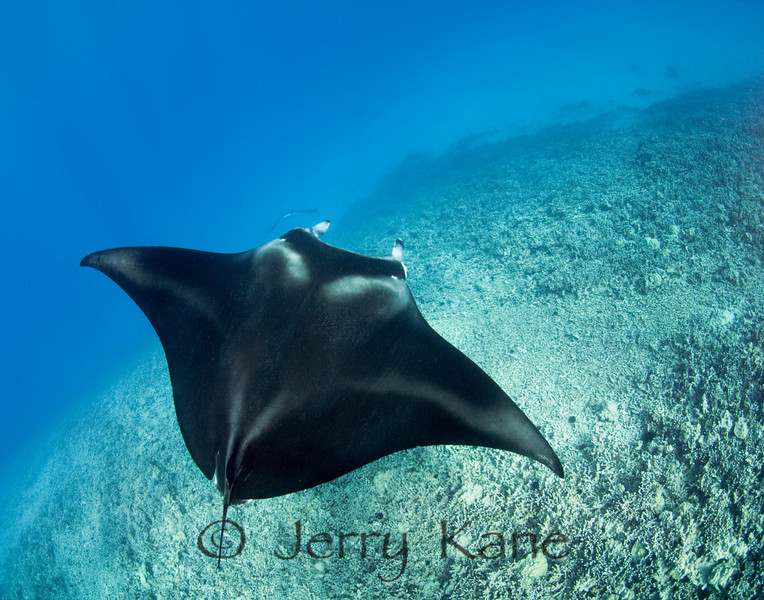 Manta Ray (Manta alfredi) - Keauhou, Big Island, Hawaii