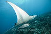 Manta Ray (Manta alfredi) with Amberjack (seriola dumerili) - Keauhou Bay, Big Island, Hawaii