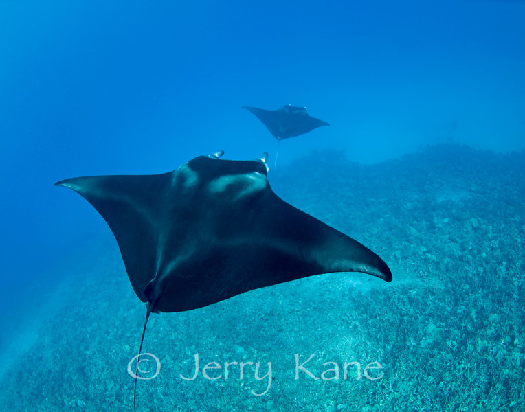 Manta Rays (Manta alfredi) - Keauhou Bay, Big Island, Hawaii