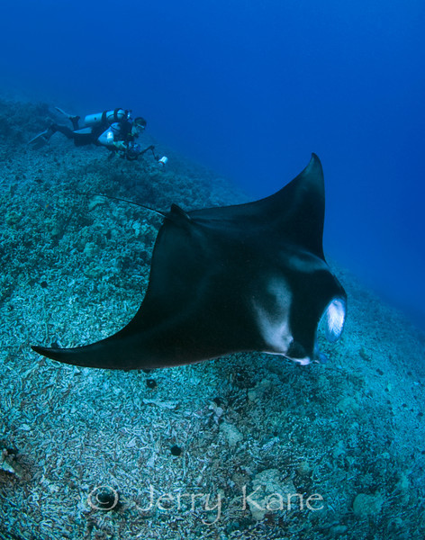 Manta Ray (Manta alfredi) and diver Bo Pardau - Keauhou Bay, Big Island, Hawaii