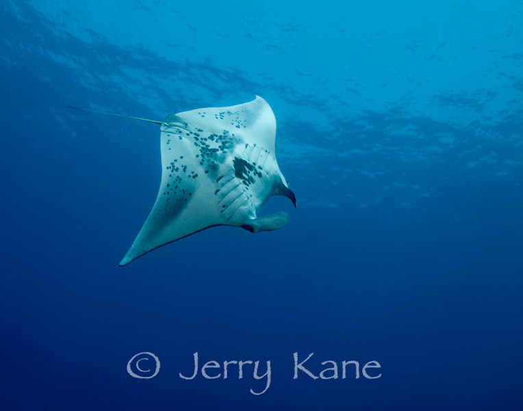 Manta Ray (Manta birostris) - Keauhou Bay, Big Island, Hawaii