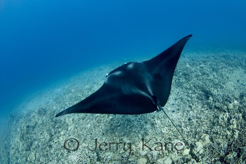 Manta Ray (manta alfredi) - Keauhou Bay, Big Island, Hawaii