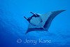 Pelagic Manta Ray (Manta birostris) - Honokohau, Big Island, Hawaii