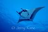 Pelagic Manta Ray (Manta birostris) - Honokohau, Big Island, Hawaii