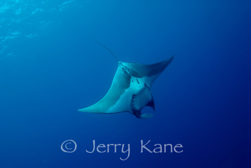 Pelagic Manta Ray (manta birostris) - Paradise Pinnacles, Big Island, Hawaii