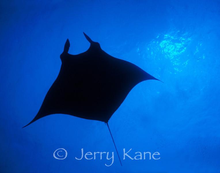 Manta Ray (Manta alfredi) - Makako Bay, Big Island, Hawaii