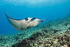 Manta Ray (manta alfredi) - Keauhou Bay, Big Island, Hawaii