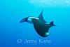 Pelagic Manta Ray (manta birostris) - Paradise Pinnacles, Big Island, Hawaii